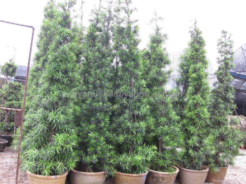 Podocarpus Macrophyllus Royal Gardening Royal