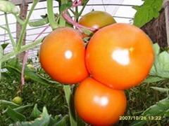 番茄种子中研958