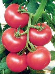 番茄種子納普拉斯