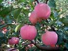 供应优质小国光红富士苹果,质优价廉