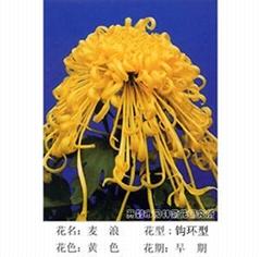 大量供應菊花種苗和盆栽菊花