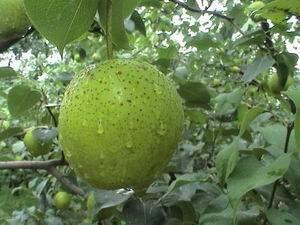 Snow pear 1