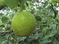 Snow pear