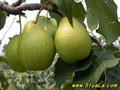 Tianjin pear