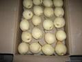 Shandong Ya Pear 1