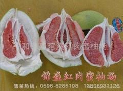 新優特品種----紅肉蜜柚