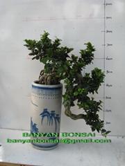 Ficus Microcarpa Bonsai ( S shape style)