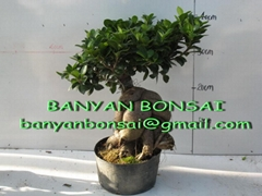 Ficus microcarpa Ginseng Root