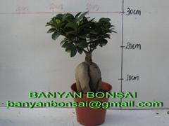 Ficus microcarpa Ginseng Root