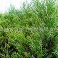 供應茶樹精油