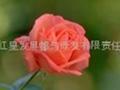 供應玫瑰精油 1