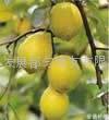 供应柠檬精油