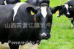 小奶牛大奶牛产奶牛乳牛美丝小说乳牛肉牛