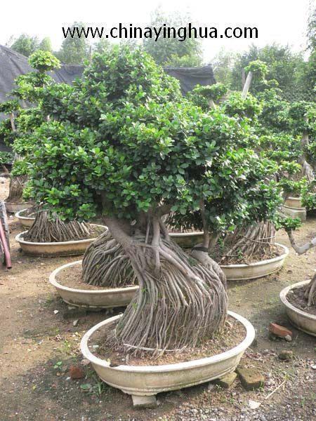 Ficus Microcarpa Ginseng Bonsai 1
