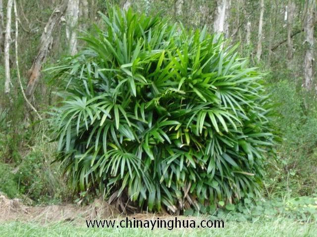 rhapis excelsa rhapis multifida rhapis china trading company flowers plant gardening. Black Bedroom Furniture Sets. Home Design Ideas