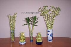 Lucky Bamboo-Dracaena Sanderiana-Dracaena Reflexa