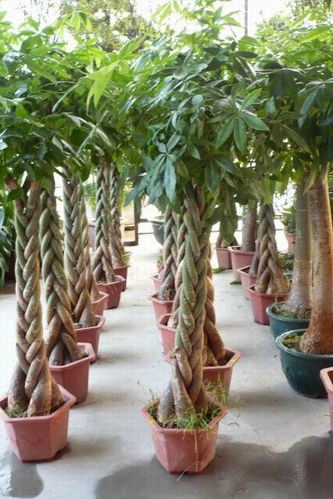 Pachira Macrocarpa Lucky Tree China Trading Company