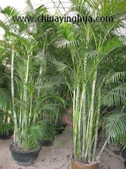 Chrysalidocarpus Lutescens-Areca Palm-Indoor Plants