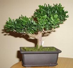 Carmona Microphylla-Fukien Tea-Bonsai