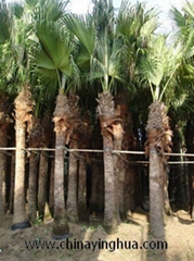 Livistona Chinensis-Fan Palm-Palm Tree