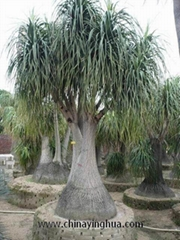 Nolina Recurvata-Ponytail Palm-Bottle Palm