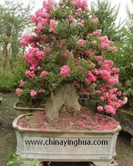 Lagerstroemia Indica-Landscaping Tree-Bonsai-Stump-Virescence Tree