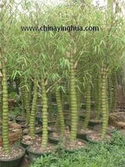 Bambusa Ventricosa-Bamboo-Buddha's Belly-Bonsai