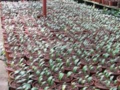 1年生精品寬葉2個葉苗