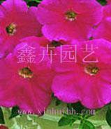 优质花卉种子