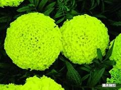 万寿菊种子