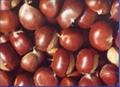 Chinese Chestnut 1