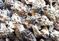 Dried morel ( morchella conica) 1