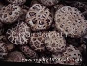 Champignon mushroom 1