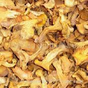 chanterelle (fungus) 1