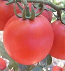 毛粉西红柿种子宝粉298