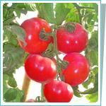 毛粉西红柿种子宝粉198