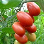 樱桃西红柿种子粉小丽