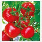 西红柿种子以色列67号