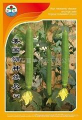 丝瓜种子美国绿神