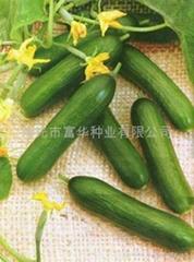 无刺黄瓜种子