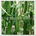 小黄瓜种子 1