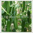 小黄瓜种子