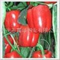进口彩椒种子-红美人-寿光彩椒