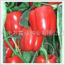 进口彩椒种子-红美人-寿光彩椒种子