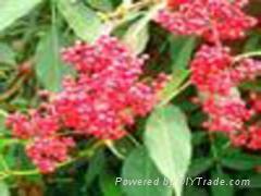 elderberry extract(juice)(sales9 at lgberry dot com dot cn)