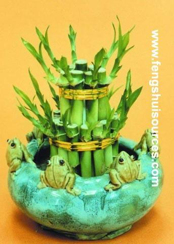 Wholesale Lucky Bamboo from China directly. 1