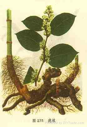 Giant Knotweed Extract 98% Resveratrol  1