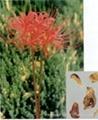Lycoris radiata P.E. 98%Galanthamine Hydrobromide  1