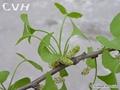 Ginkgo Biloba Extract 24%/6% 1