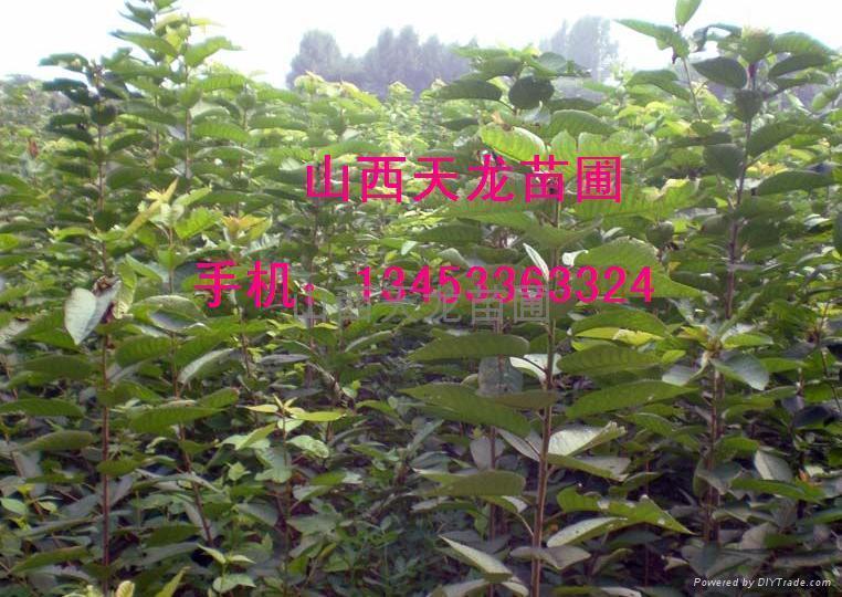 秋天樱桃树苗落完叶子之后可不可以种植成活率高吗图片